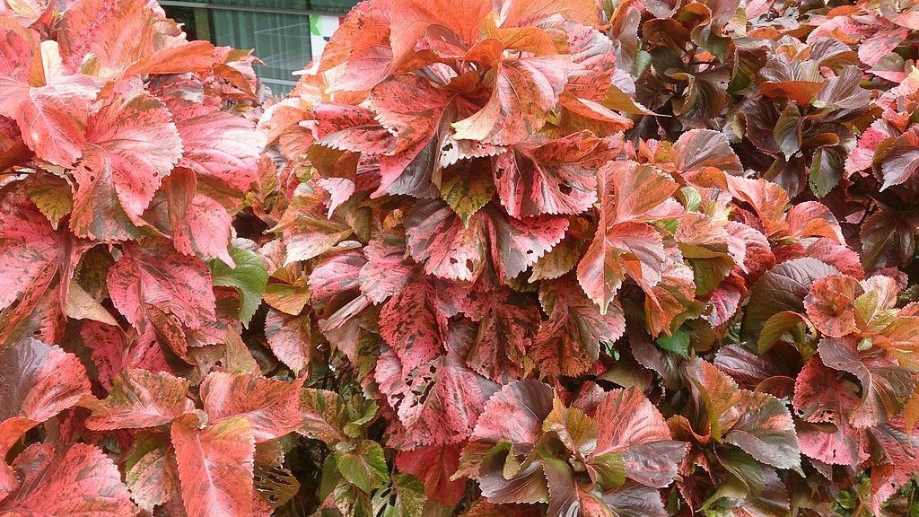 Copper Plant Acalypha wilkesiana
