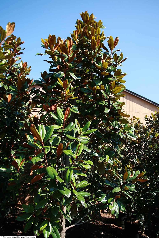 DD Blanchard Southern Magnolia Tree