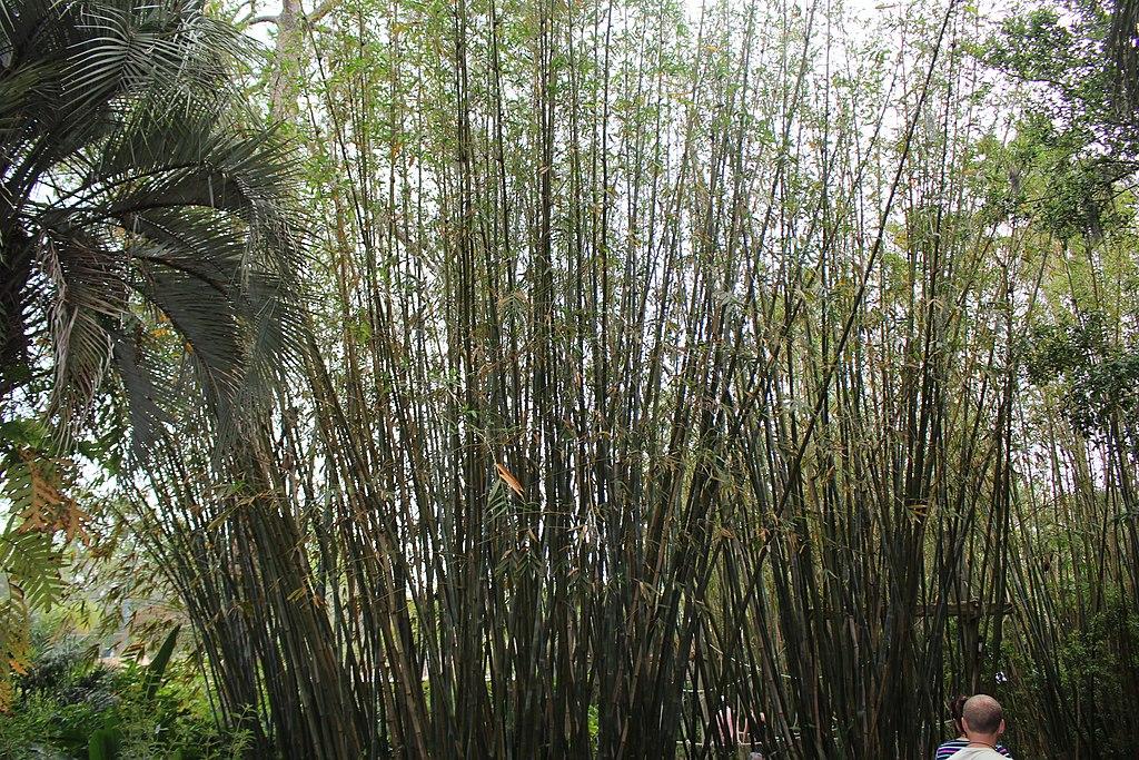Graceful Clumping Bamboo