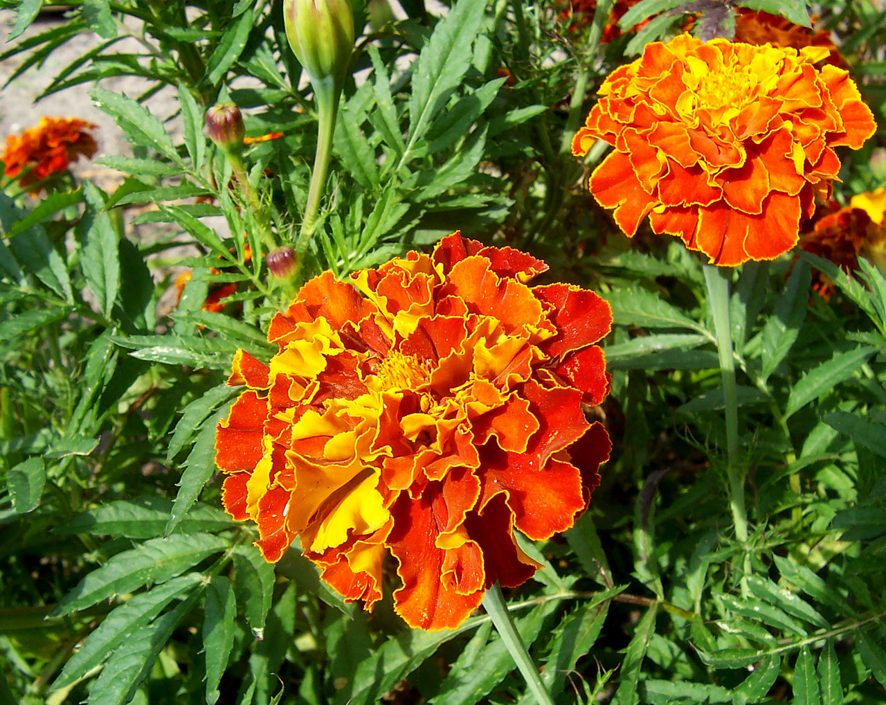 Merigold flower