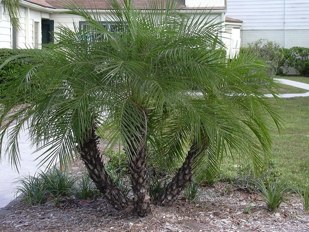 Phoenix roebelenii palm tree