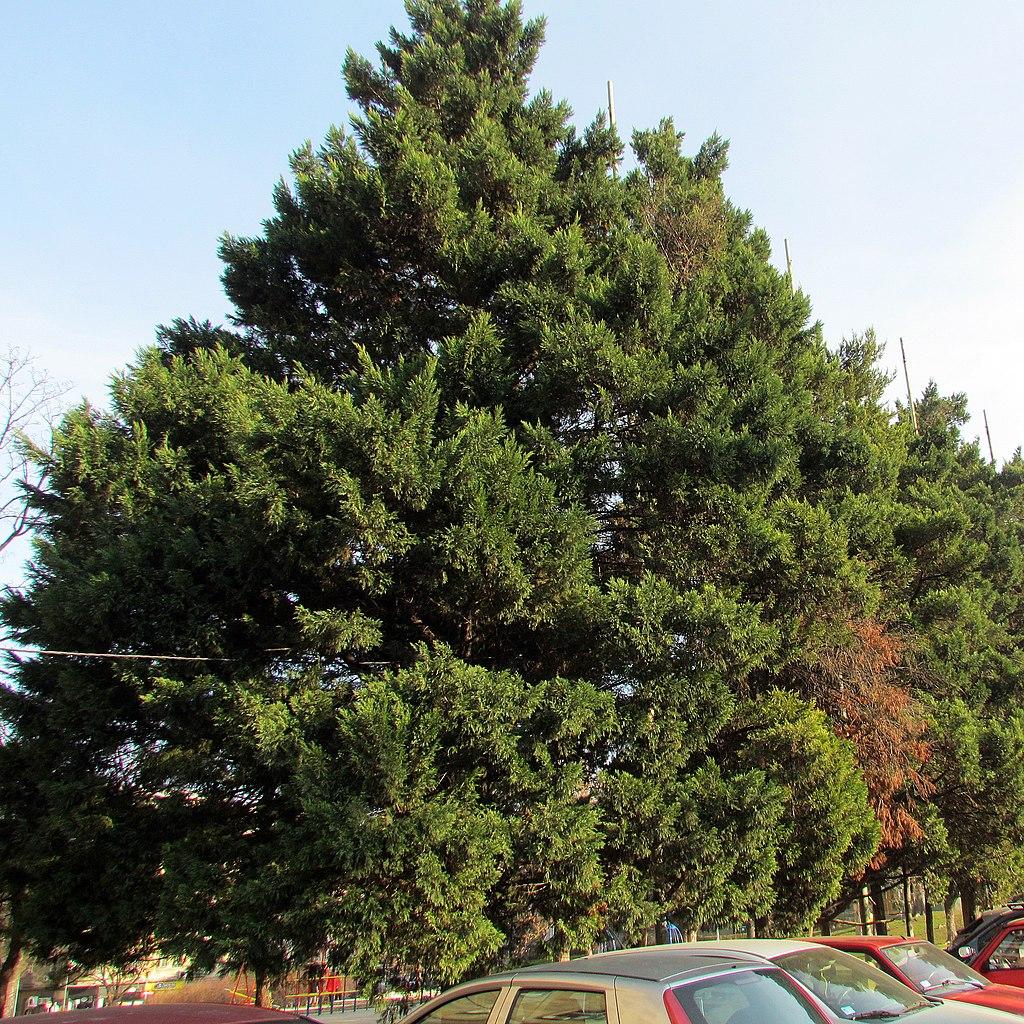 Southern Red Cedar Juniperus virginiana