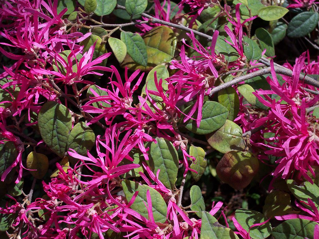 Loropetalum Chinese Fringe Flower shrub