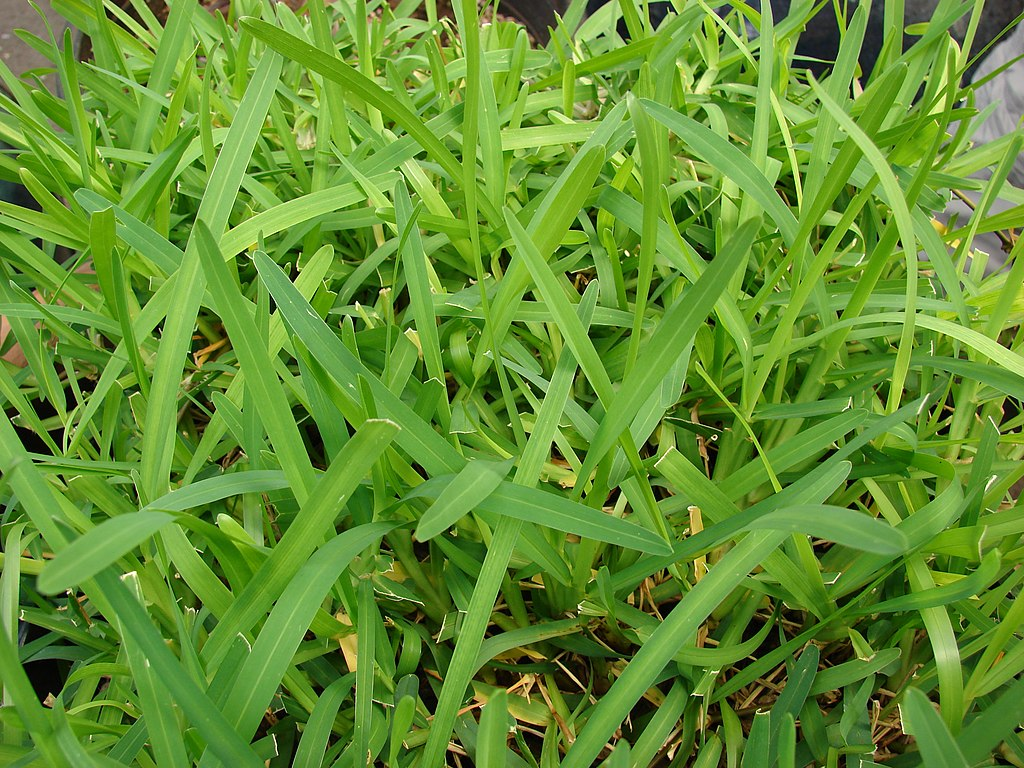 St. Augustine Grass in Florida
