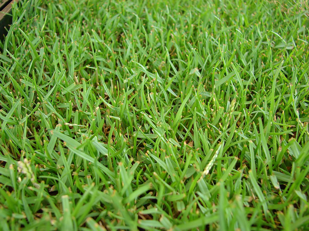 Zoysia Grass in Florida