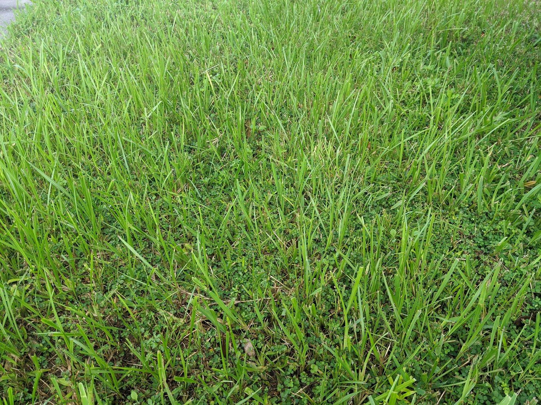 bahiagrass in lawn in Orlando, FL