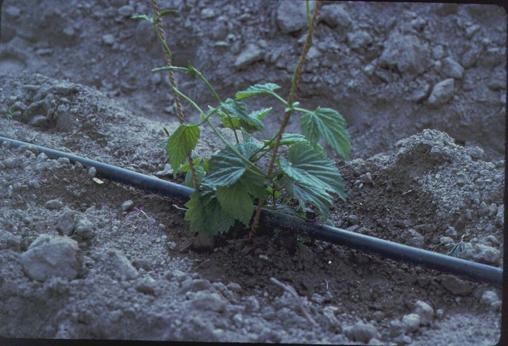 Plant with drip irrigation
